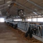 Uzbekistan, DFP 110 cows