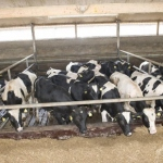 veal-production-8
